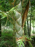 亀甲竹(きっこうちく)