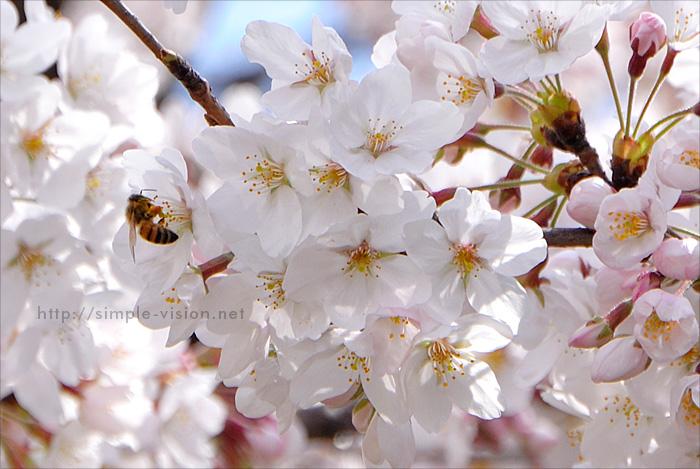 南大沢の桜とミツバチ