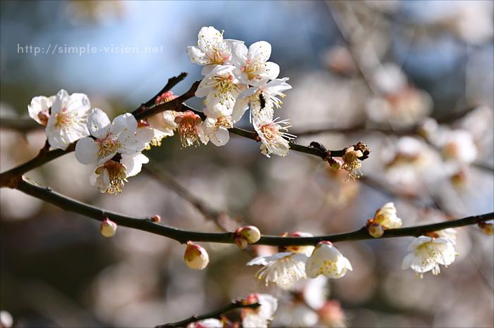 梅のアップ.jpg