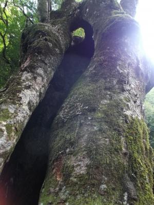 貴船の大木