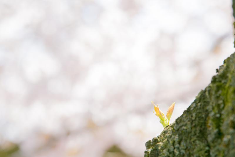 桜・サクラ お花見してきました( ^ω^ )