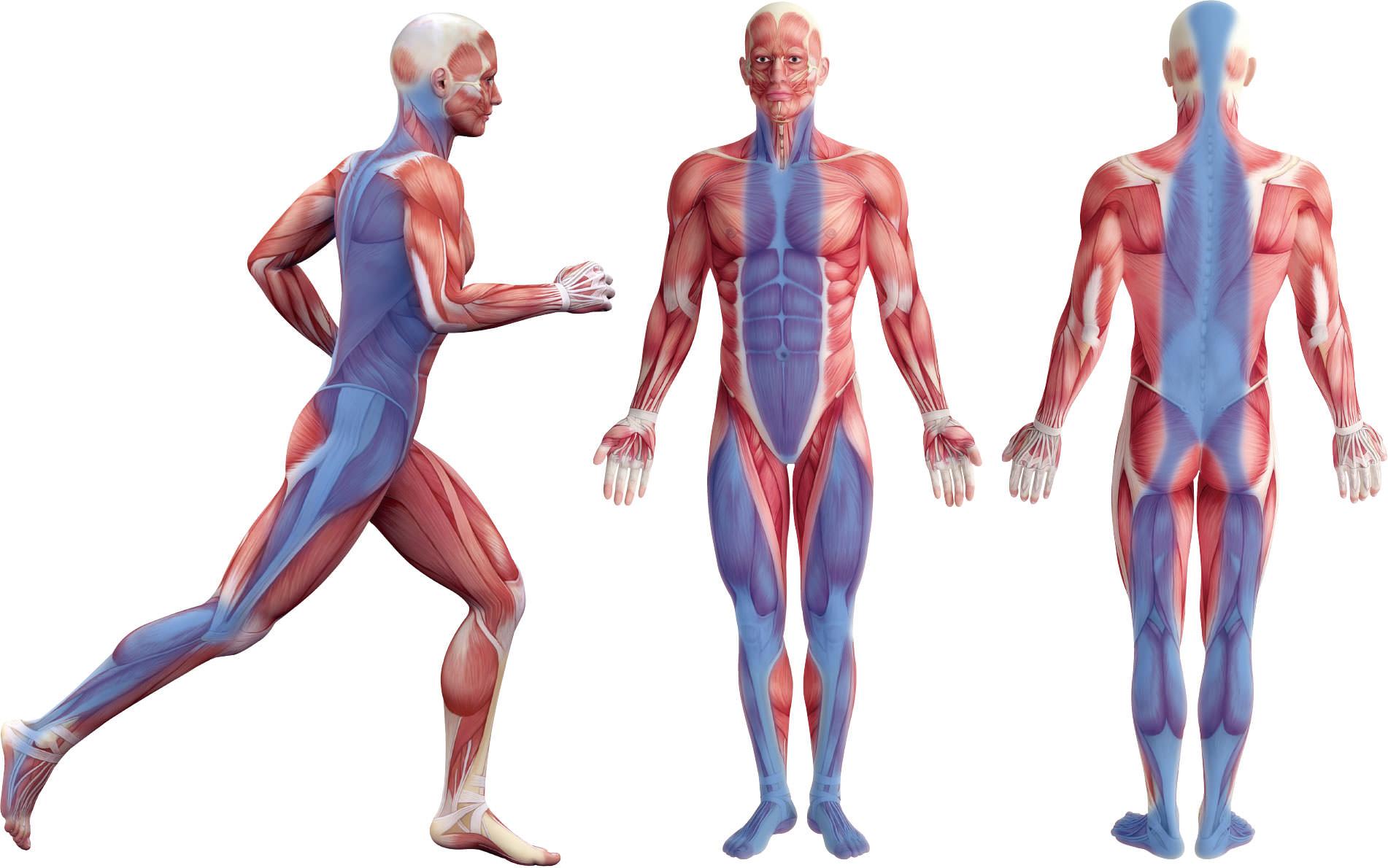 ご存じですか?筋膜リリース | イシケンスポーツnoブログ